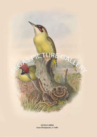 GECINUS VIRIDIS Green Woodpecker, or Yaffle